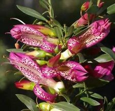 MAGIC BLUSH Eremophila maculata native Emu Bush cerise flowers plant 140mm pot