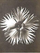 1942 FOTO ORIGINALE STAMPA ROTOCALCO PIASTRA 14. Karl Blossfeldt astratto botanico