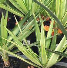 JEWEL Yucca elephantipes variegated edible flowers waterwise plant in 165mm pot