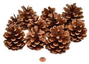 Muwse 10 Stk. Schwarzkiefer Zapfen Natur trocken Deko Floristik Basteln Pinus