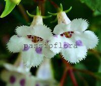 Achimenes FIMBRIATA rhizome African Violet kin