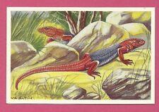Agama Lizard Animals of Africa Congo Van Tieghem Dupont Chicory Card #95