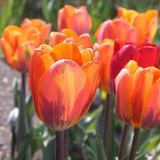 PRE-ORDER - 100 x Princess Irene Tulip Bulbs. Stunning blooms. Easy to grow