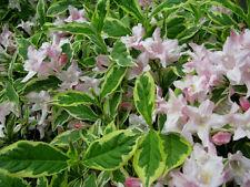 Weigelie Weigelia florida Variegata 40-60cm Sommerblüher
