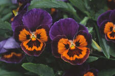35+ PANSY JOKER POKER FACE aka VIOLA FLOWER SEEDS, COOL WEATHER PLANT PERENNIAL