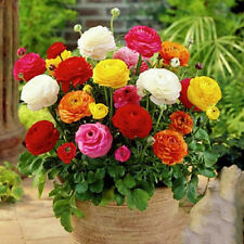 Persian Buttercup Flower 20 Seeds Original Package Big Ranunculus Mix Color