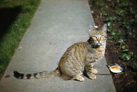 35mm Slide 1950s Red Border Kodachrome Tabby Kitten on Sidewalk