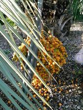 PALMEN Michung von Gelee, Phönix, Dattel, Equator, Königspalme 5 Sorten Tüte