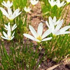 25 White Rain Lily Bulbs leaves/roots(Lilly, Lilies) STORM LILY CROCUS