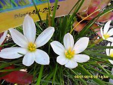 Zephyranthes candida Autumn crocus Rain Lily White x 10