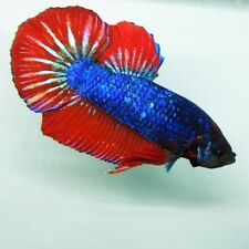 Live Betta Fish BIG GIANT Blue red Bicolor HMPK Male from Indonesia