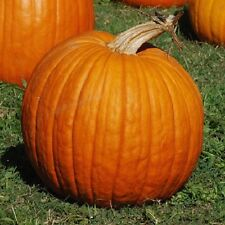 10 Pumpkin Connecticut Field Seeds