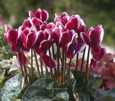 4 x Cyclamen Halios Fantasia Mix  Perennial Plug Plants