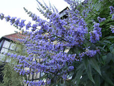 25 CHASTE BERRY TREE Vitex Agnus Castus Monk's Pepper Flower Seeds *Comb S/H