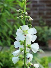 50 WHITE CHECKERMALLOW Sidalcea Candida Prairie Checkerbloom Flower Seeds + Gift