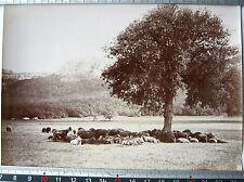 PHOTO FIN XIX PLAN D'AUPS LA SAINTE BAUME LE GRAND CHENE TROUPEAU DE MOUTONS j85