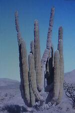 10 Samen mexikanischer Riesenkaktus,Pachycereus pringlei#433
