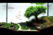 Xmas Moss x 1 bag - Aquarium Planted Aqurium Tnak Fishtank Co2 Eheim Juwel
