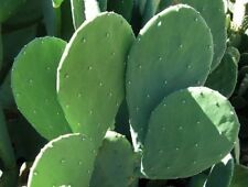 Spineless Prickly Pear Cactus Starter Pad/Segment - OPUNTIA 'CACANAPA ELLISIANA'