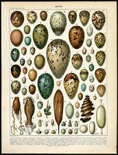 Antique Print-EGG-BAT-TURTLE-PHEASANT-PENGUIN-CUCKOO-BLACKBIRD-Larousse-1897