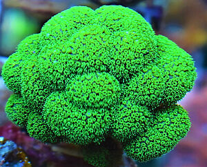 Florescent Green Polyp Pink Skin Stylophora Mini Colony SPS Coral frag