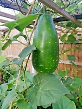 UK Seller: 2018 Gourd Seeds, Hybrid Bottle Gourd, Bangla Khodu / Lau: 5 Seeds