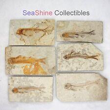 One(1) Fossil Fish Lycoptera Davidi Cretaceous on Matrix 110*65 mm-LJ000 Normal