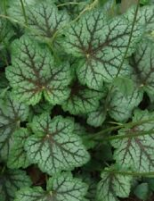 50+ HEUCHERA DALE'S STRAIN FLOWER SEEDS, AMERICANA, FRAGRANT, SHADE PLANT, EASY