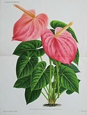 1886 ANTHURIUM REINE DES BELGES Double Size Antique Botanical Print LINDEN