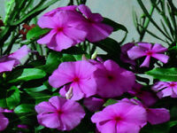 50 Vinca Seeds Sunsplash Grape Seeds
