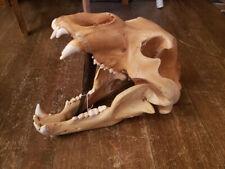 Rare Fossil Cave Bear Skull impressive specimen museum grade Ursus spelaeus