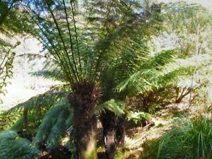 Soft Tree Fern (Dicksonia antarctica) 500 Fresh Spores