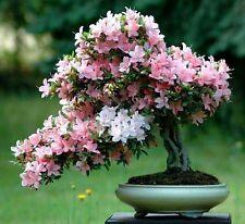 10 Semillas De Bonsai Sakura hogar del árbol crecen flores
