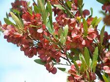 Dodonaea viscosa - Native Hop 15 seeds