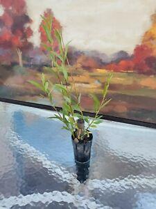 2ft 3ft 4ft Tall Hybrid Willow Tree Fast Growing Shade Screen Windbreak Austree