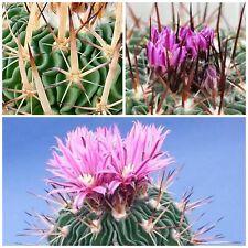 50 semi di Echinofossulocactus violaciflorus ,piante grasse,seeds cactus