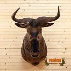 Premier African Nyasa Wildebeest Taxidermy Shoulder Mount SW10498