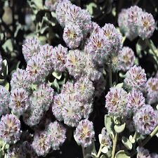 SILVERTAILS SEED PTILOTUS OBOVATUS NATIVE FLOWERING SHRUB 25 SEEDS
