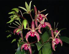 Orchid Dendrobium Starsheen 'Botanic Fireworks' Near Bloom Size FRAGRANT