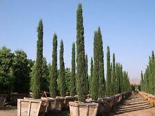 50 FRESH Italian Cypress Strata  Cupressus Sempervirens seeds