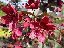 Zierapfel Malus Hybride Royalty 40-60cm Frühlingsblüher Fruchtgehölz