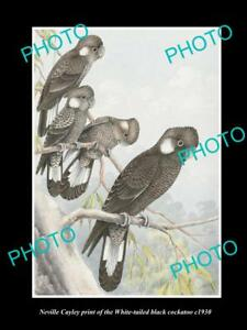 NEVILLE CAYLEY VINTAGE PRINT OF AUSTRALIAN BIRDS 8x11 WHITE TAILED COCKATOO