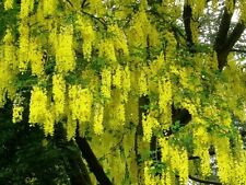 Common Laburnum / Laburnum Anagyroides / Golden Rain / Golden Chain, 2ft Tall