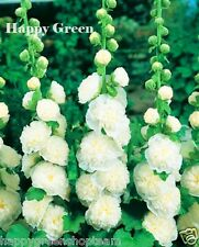 HOLLYHOCK - 50 seeds - CHATERS DOUBLE TRIUMPH WHITE - Althaea rosea - Flower