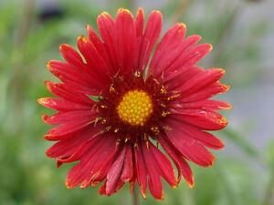 Gaillardia Grandiflora 'Burgundy' - 100 Seeds - Blanket Flower - Red Wine - HP