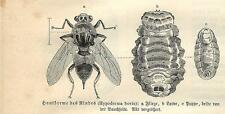 Stampa antica INSETTI Hypoderma bovis INSECTA 1891 Old antique print