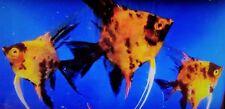 6 High Coverage Orange Koi Angelfish - Dime - Nickle Size Premium Koi Angel Fish