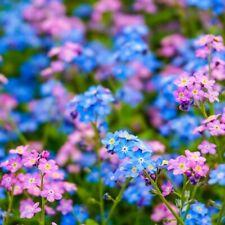 1200 graines-Myosotis alpestris-VIVACE fleur Alpine ne m/'oublie pas-Rose