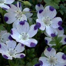 five spot, UNUSUAL, EYE-CATCHING, purple flower, 500 seeds! GroCo.