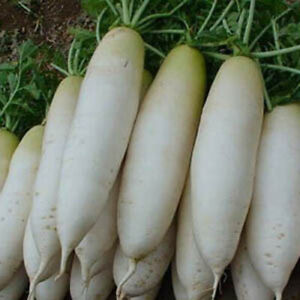 200+ Radish Seeds White Icicle Radish Non GMO Garden Vegetable Seeds USA